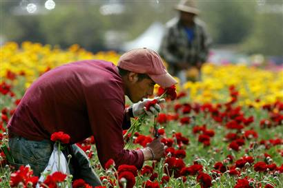 Farmworkers Harvest First Spring Crops In Southern California