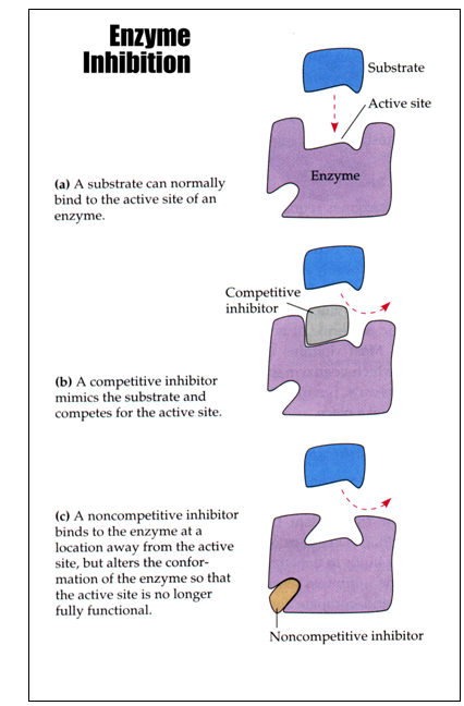 Explain the difference between competitive and non-competitive inhibition - IB Biology Syllabus