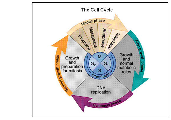 phases of a cell cycle biology essay A website mainly aimed at students studying a-level biology - covers genetics, cells, biochemistry, enzymes, ecology, environment, photosynthesis, respiration, heart, blood the life of a cell is called the cell cycle and has four phases.